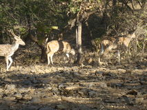 Wildlife of gir forest. Picture taken in a gir jungle in a safari tour Stock Photography
