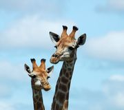 Wildlife: Giraffe in Africa. Two Giraffe in the bushveld of South Africa Royalty Free Stock Photo