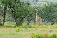 Wildlife Giraffe in Africa Stock Images