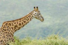 Wildlife - Giraffe Stock Photography