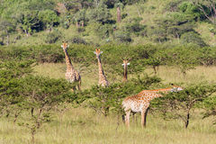 Wildlife Giraffe Animals Wilderness Stock Photo