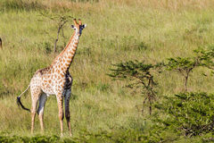 Wildlife Giraffe Animals Wilderness Stock Images