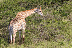 Wildlife Giraffe Animals Wilderness Royalty Free Stock Image
