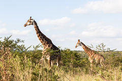 Wildlife Giraffe Animals Wilderness Royalty Free Stock Images