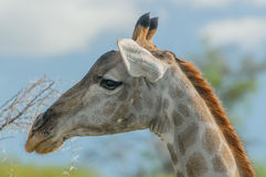 Wildlife - Giraffe Stock Photo