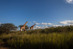 Wildlife Giraffe Landscape Wilderness Stock Photos