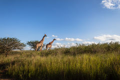 Wildlife Giraffe Landscape Wilderness Royalty Free Stock Photos