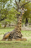 Wildlife - Giraffe Stock Image