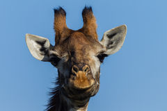 Wildlife Giraffe Portrait Animal Stock Images