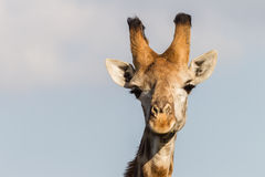Wildlife Giraffe Portrait Animal Royalty Free Stock Photography