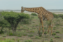 Wildlife - Giraffe Stock Images