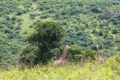 Wildlife Giraffes Landscape Royalty Free Stock Photos