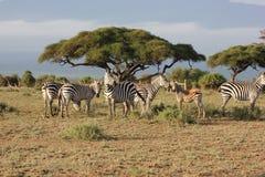 Wildlife, Grassland, Ecosystem, Zebra Royalty Free Stock Image