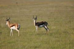 Wildlife, Grassland, Springbok, Gazelle Royalty Free Stock Photos