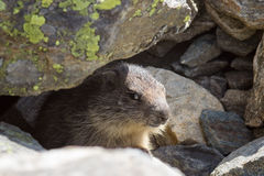 Wildlife, groundhog cub of marmot in Aosta valley, Italy. Photo taken at an altitude of 2500 meters royalty free stock photos