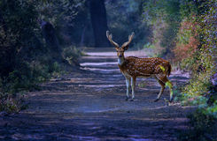 Wildlife: handsome male spotted deer in winter morning. Handsome male spotted deer in winter morning with cooler tone and beautiful in between sun rays falling Stock Image
