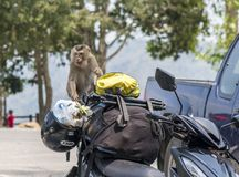 Wildlife harrasment in tourist places - monkey steal food from vehicles of tourist who stoped to make photo on a stock images
