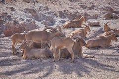 Wildlife, Herd, Fauna, Barbary Sheep stock image