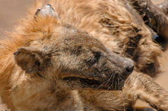 Wildlife - Hyena Royalty Free Stock Images