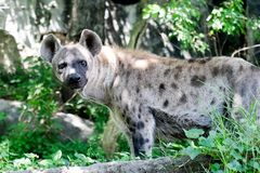 Wildlife of Hyena in the zoo. At Thailand royalty free stock photos