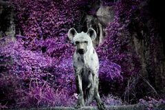 Wildlife of Hyena in the zoo. At Thailand stock photo