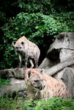 Wildlife of Hyena in the zoo. At Thailand royalty free stock images