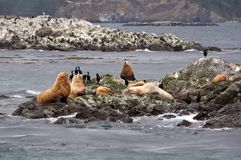 Sea Lions on a Small Island Royalty Free Stock Photos