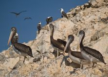 Wildlife on Islas Ballestas in Peru. Paracas Natural Park Royalty Free Stock Photos