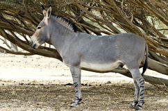 Wildlife of Israeli savanna. Somali ass is a protected species in nature reserve near Eilat Stock Image