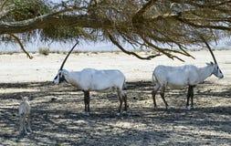 Wildlife of Israeli savanna Royalty Free Stock Photography