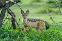Wildlife - Jackal Stock Photography
