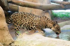 Wildlife of Jaguar drink water in zoo. At Thailand stock images
