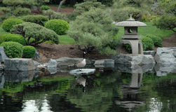 Wildlife and japenese garden. Geese hang out and soak up some zen in a pretty oriental garden Stock Photo