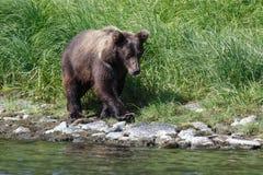Wildlife Kamchatka: Kamchatka brown bear (Ursus arctos piscator) Stock Image