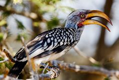 Southern Yellow-billed Hornbill in South Africa Royalty Free Stock Images
