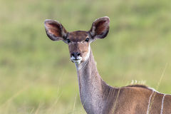 Wildlife Kudu Buck Animal Stock Image