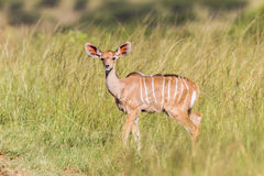 Wildlife Kudu Buck Calf Animal Royalty Free Stock Photography