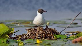 Wildlife on the lake in Danube Delta. In spring time on remote area stock images