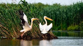 Wildlife on the lake in Danube Delta. In spring time on remote area with pelicans Royalty Free Stock Images