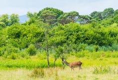 Deers in Killarney Nationalpark Ireland stock image