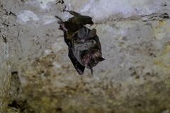 Free Wildlife: Leaf-Nosed Bats Are Seen Hanging Inside An Ancient Mayan Temple In Guatemala Royalty Free Stock Photography - 163676477