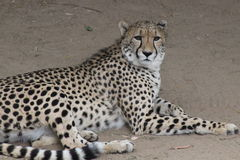 Wildlife leopard royalty free stock images