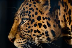 Wildlife, Leopard, Jaguar, Mammal Stock Photos