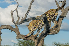 Wildlife - Leopard Stock Photography