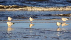 Group Of Seagull On Seaside. Happiness Freedom And Easy Way Of Living. Wildlife life freedom and happiness of seagull on baltic seaside with reflection and blue royalty free stock photos