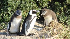 Easy Way of Life Penguin Family Living In Nature. Wildlife life penguin family living with freedom in natural. South africa royalty free stock images