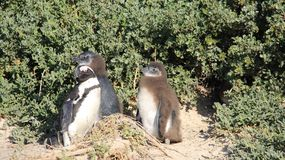 Easy Way Of Life Penguin Living In Nature Freedom Of Life. Wildlife life penguin family living with freedom in natural. South africa stock images