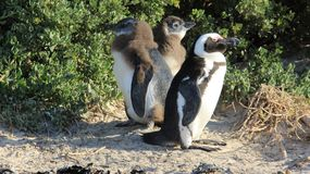Penguin Family Living In Nature Freedom Of Life. Wildlife life penguin family living with freedom in natural. South africa royalty free stock photography