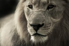 Wildlife, Lion, Black And White, Mammal Royalty Free Stock Photography