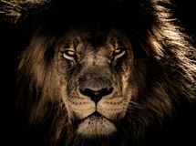Wildlife, Lion, Face, Black Stock Photo